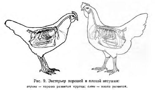 Как определить возраст курицы по внешнему виду и отличить старую птицу от молодой?