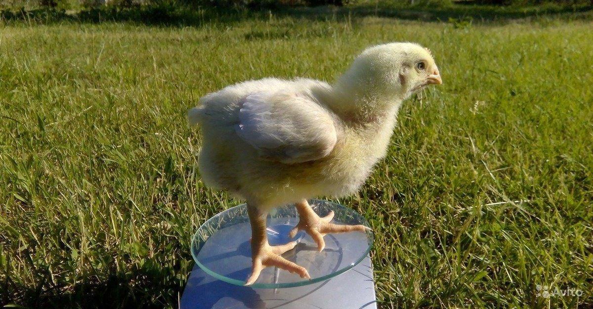 Бройлер Кобб 500 - мясной кросс кур. Характеристики, инкубация по дням, содержание, отзывы