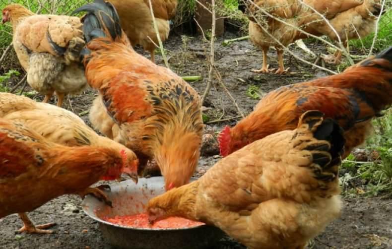 Линька у кур-несушек и правильное кормление