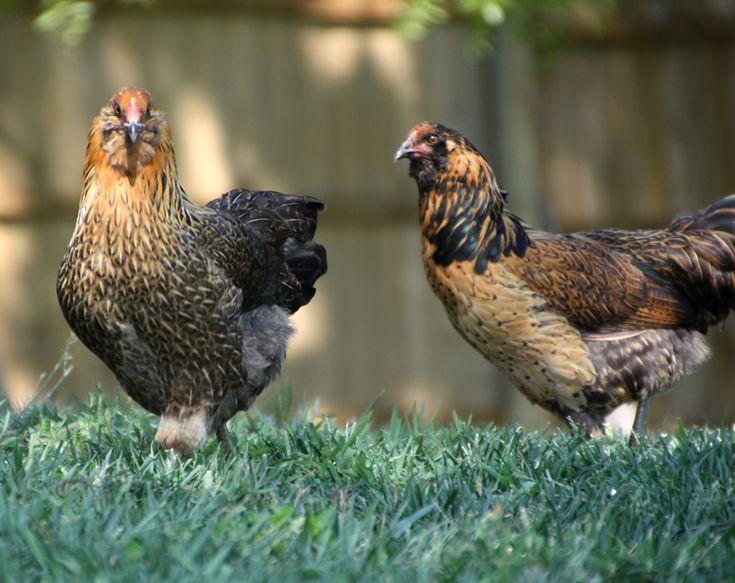 Амераукана порода кур – описание, фото и видео