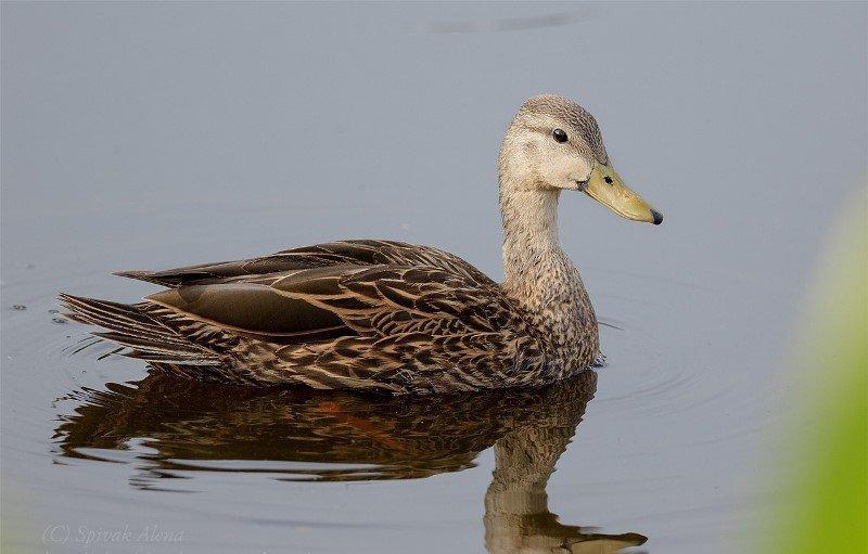 Водоплавающая крошка – утка чирок