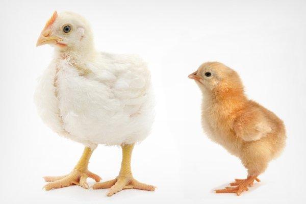 Как отличить цыплят бройлеров от молодняка обычных кур? Различия по окрасу, весу, половым признакам