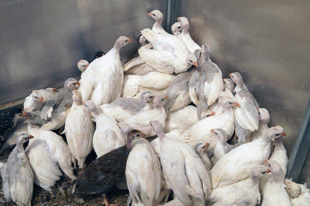 Цесарка белая сибирская – как правильно содержать, чем кормить