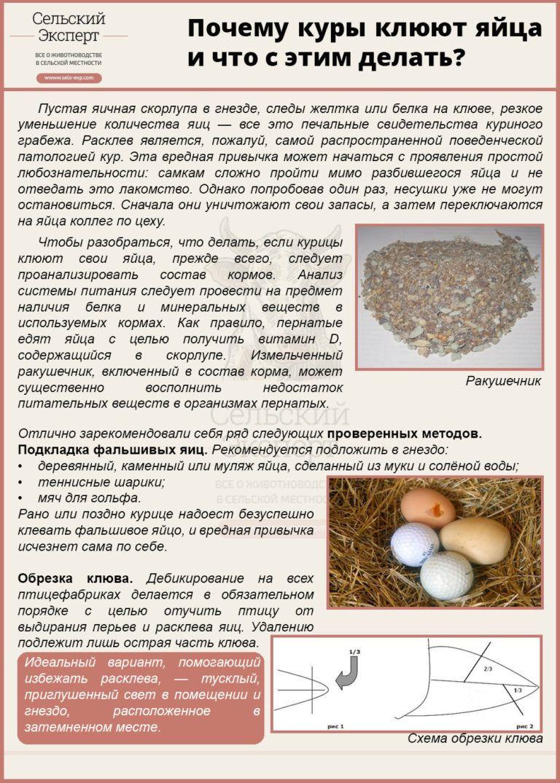 Почему куры плохо несутся — что надо для лучшей яйценоскости?