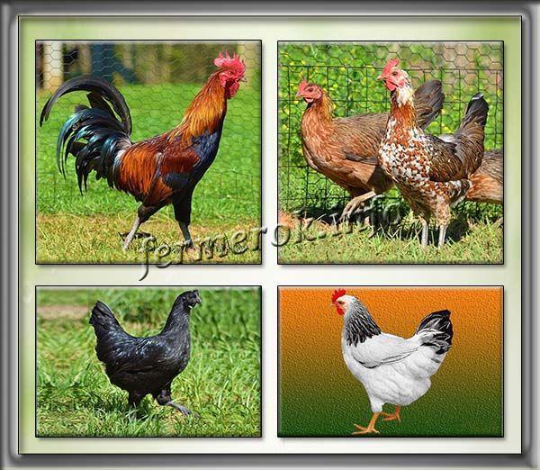 Юрловская - голосистая порода кур. Описание, характеристики, содержание, кормление и инкубация