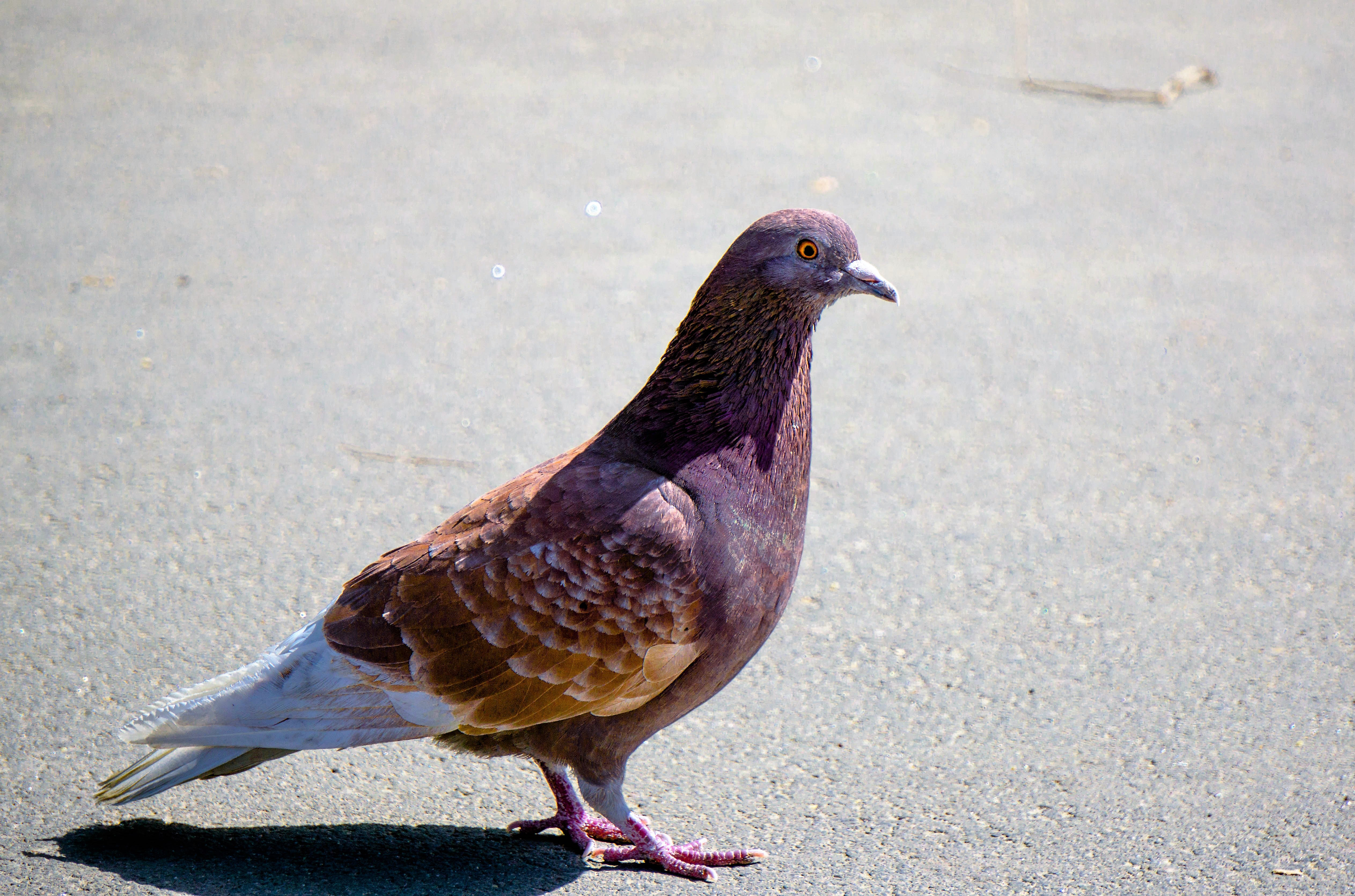 Породы голубей, имеющие коричневый окрас, их особенности и преимущества