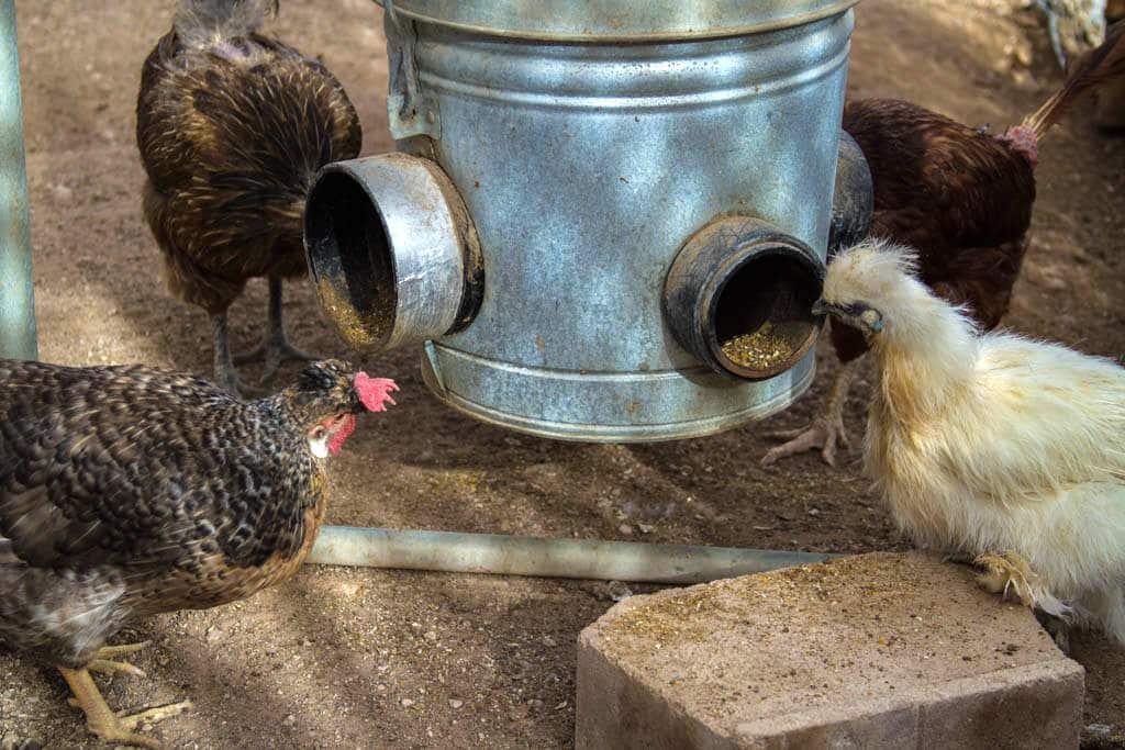 Июль в курятнике — работы и заботы в жару