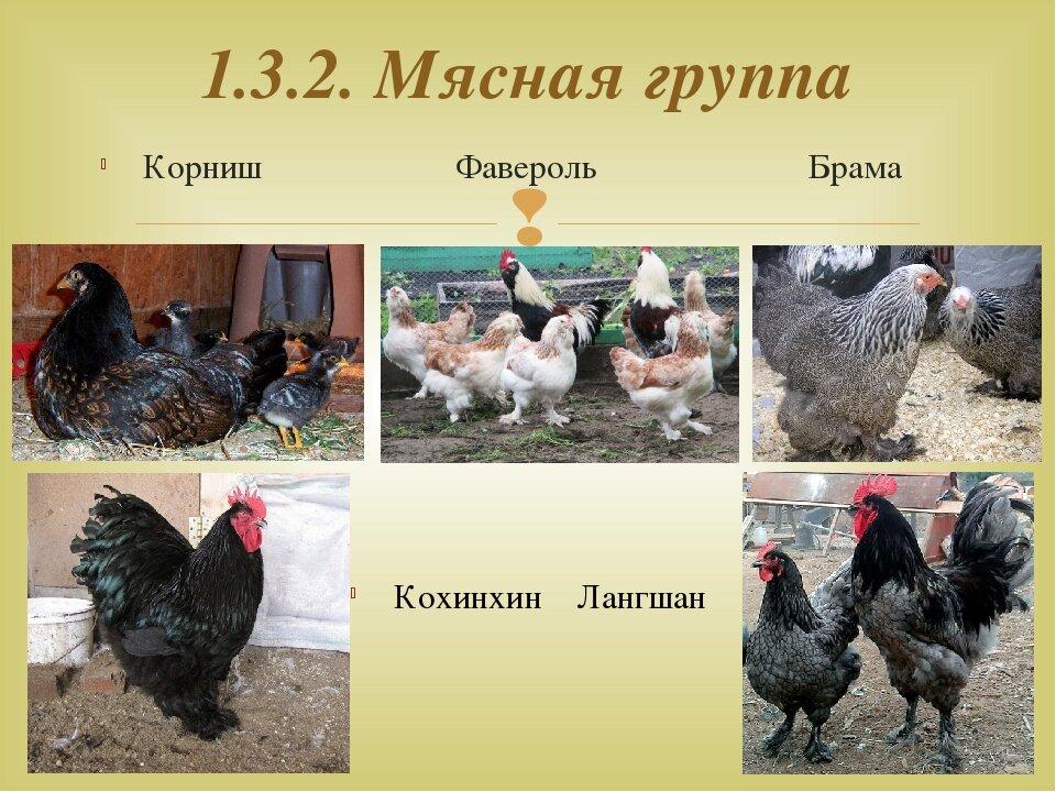 Лучшие яичные породы кур для домашнего разведения