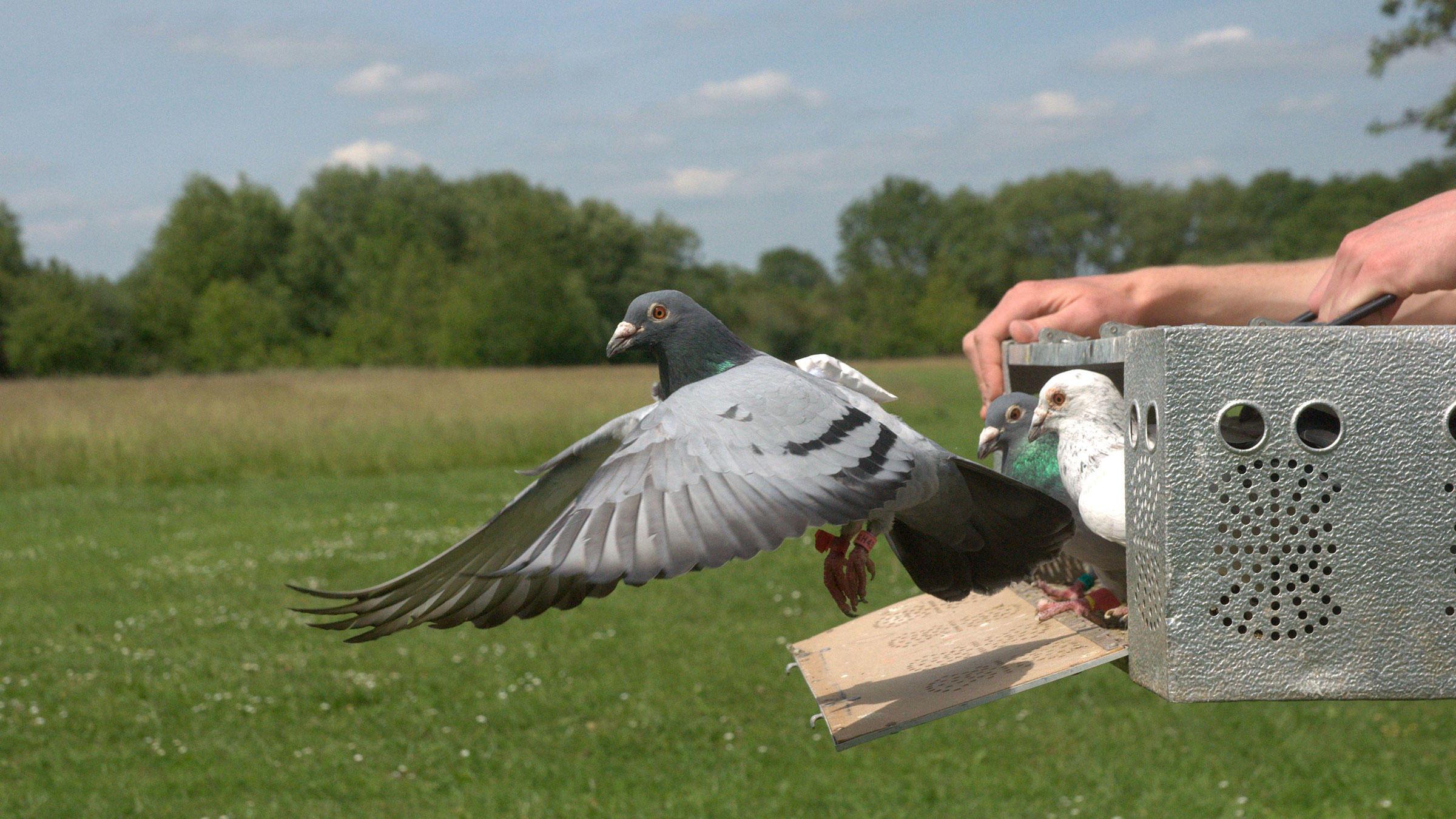 Обзор лучших пород почтовых голубей и принцип работы голубиной почты