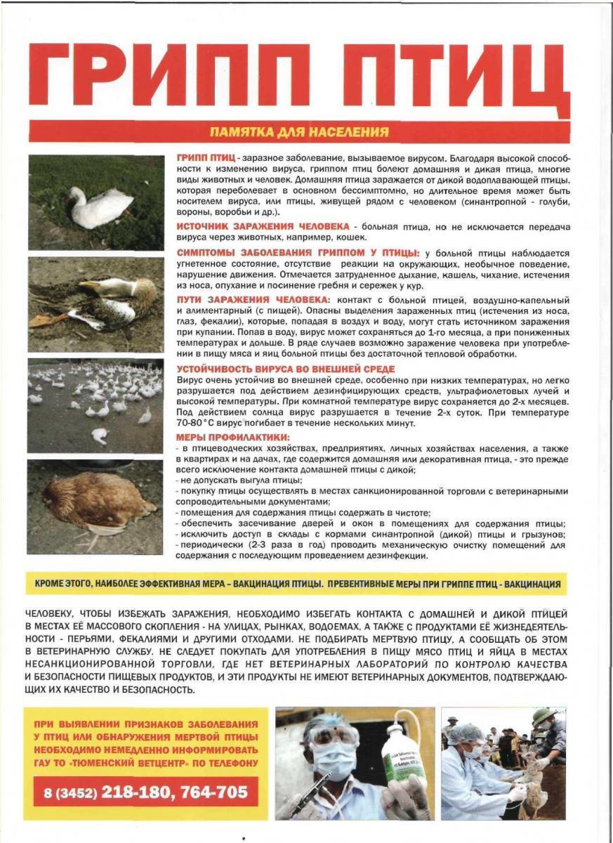 Болезнь Ньюкасла у кур: симптомы, патогенез, диагностика, лечение, меры профилактики