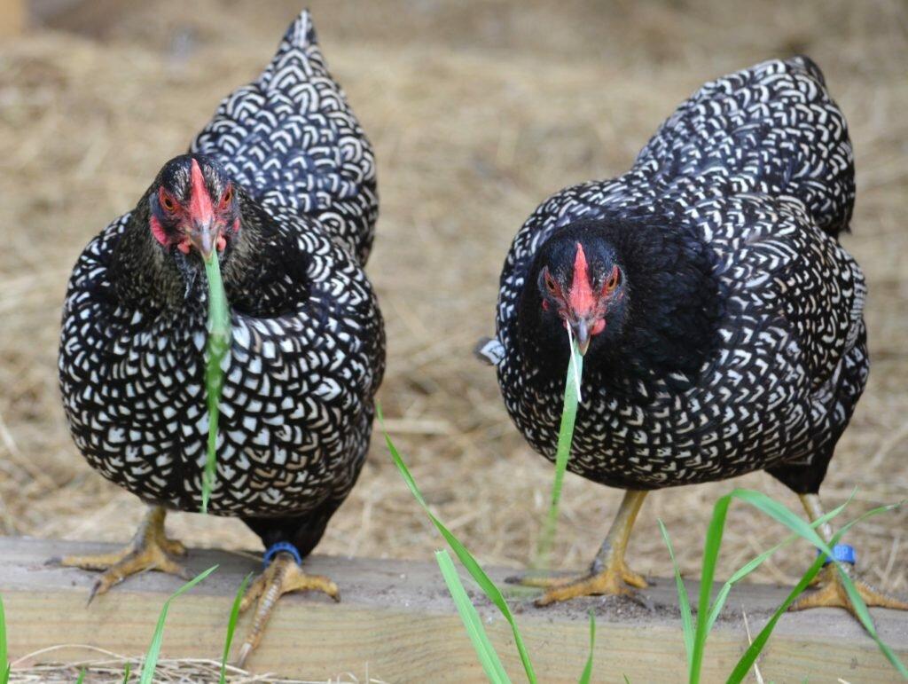 Сицилийский Баттеркап - декоративная порода кур. Описание, выращивание и разведение, кормление, инкубация