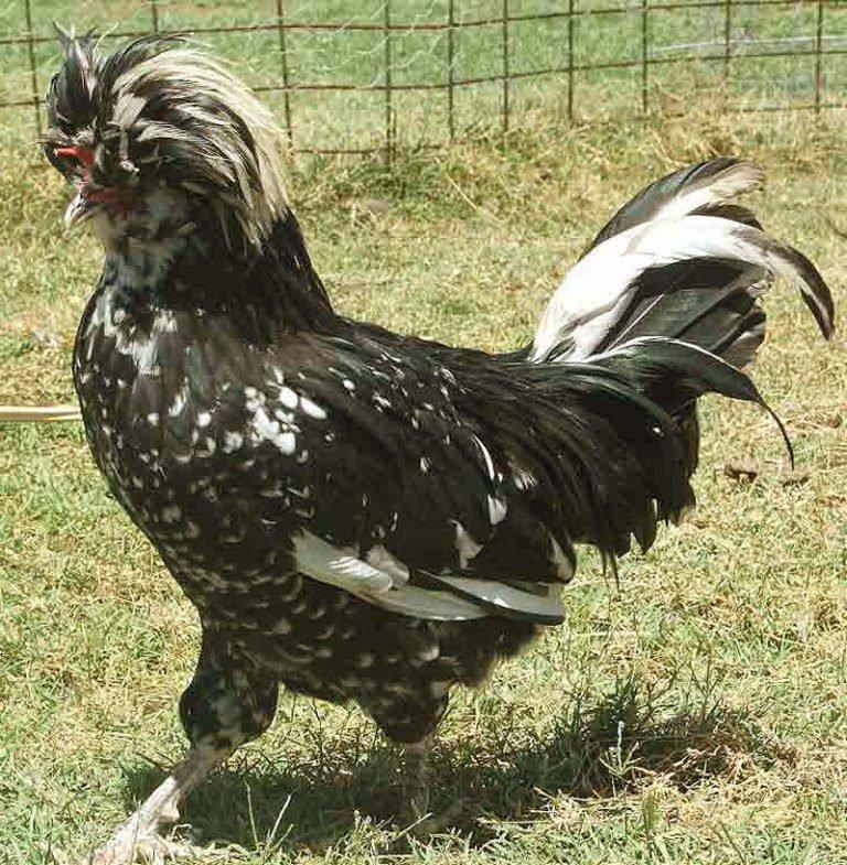 Королевская порода кур – описание с фото и видео из Китая