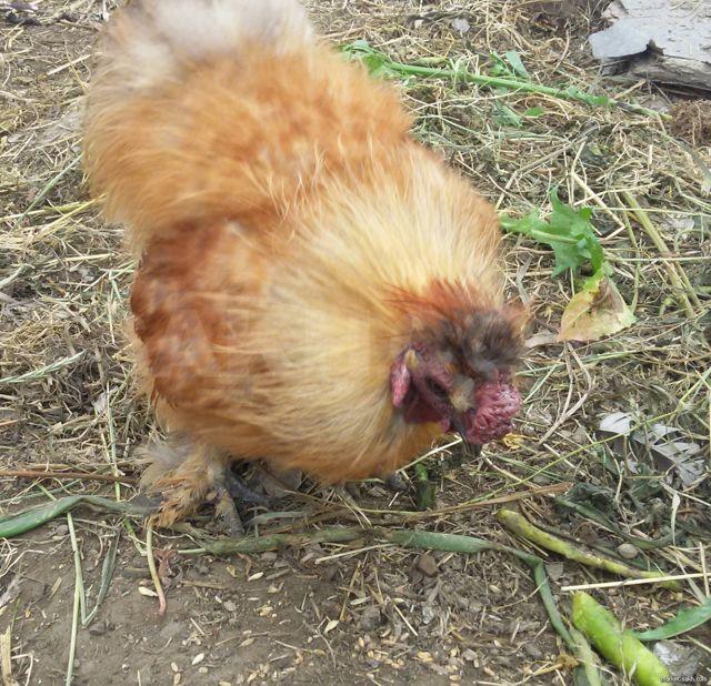 Почему петух топчет курицу?