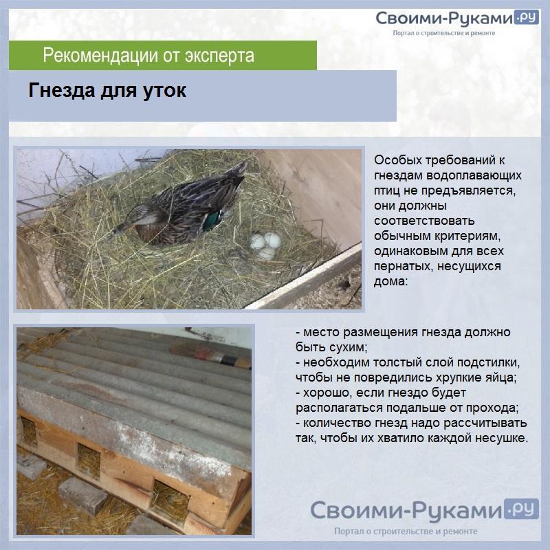Содержание и выращивание уток в домашних условиях