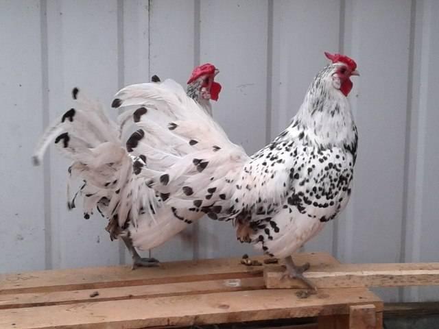 Кроссы и породы кур