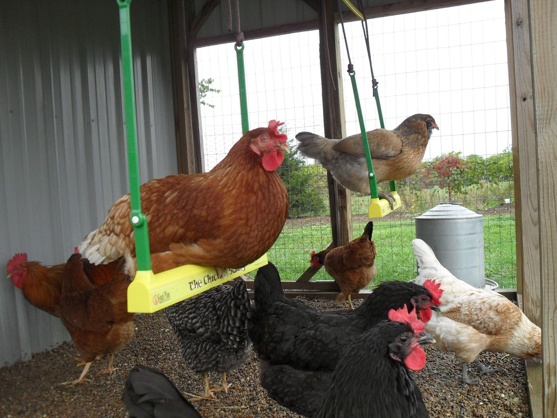 Советы про выращивание куриц на даче для новичков