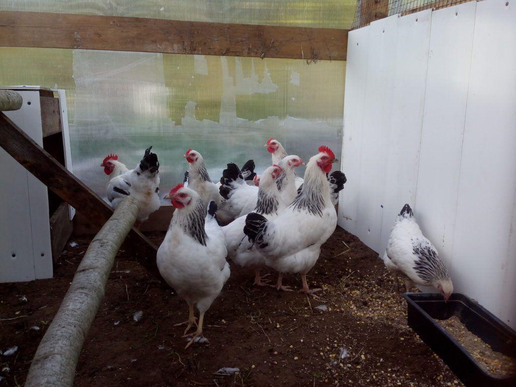 Пушкинская мясо-яичная порода кур. Основные характеристики, особенности выращивания и инкубации