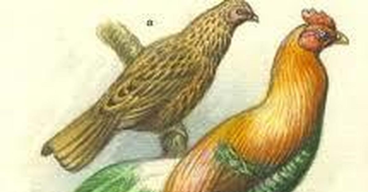 Одомашнивание кур и птиц от происхождения до развития