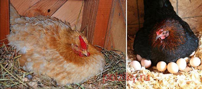 Курица наседка – лучшая порода квочки и высиживание