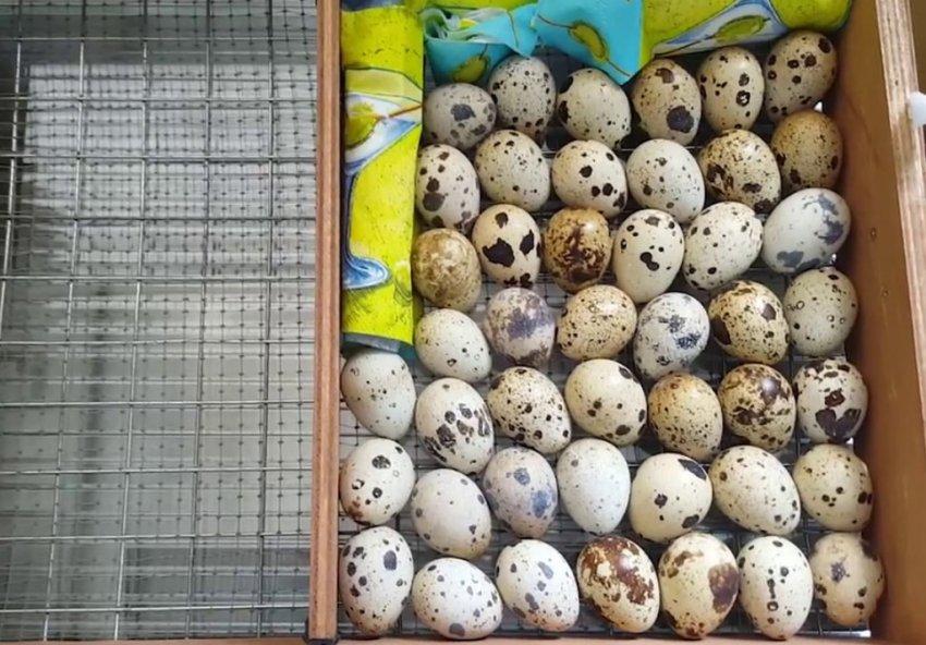 Перепелиные яйца из магазина в инкубаторе