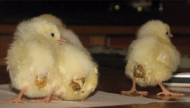 Лечение поноса у цыплят домашними средствами