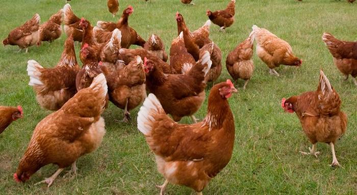 Родонит порода кур – описание, фото и видео