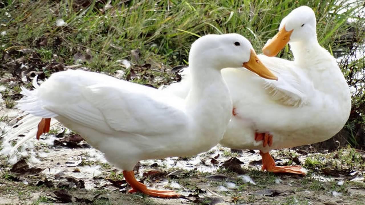 Утки щипают перья друг у друга: что делать?