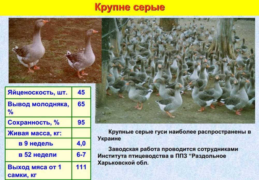Породы гусей белого цвета – описание внешности и продуктивности лучших представителей