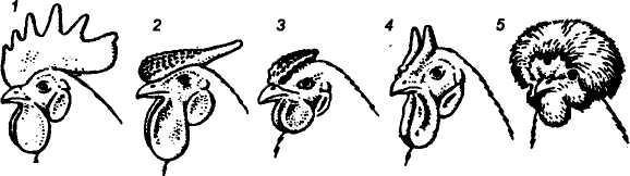 Цесарки – как отличить самку от самца по внешним и физиологическим признакам