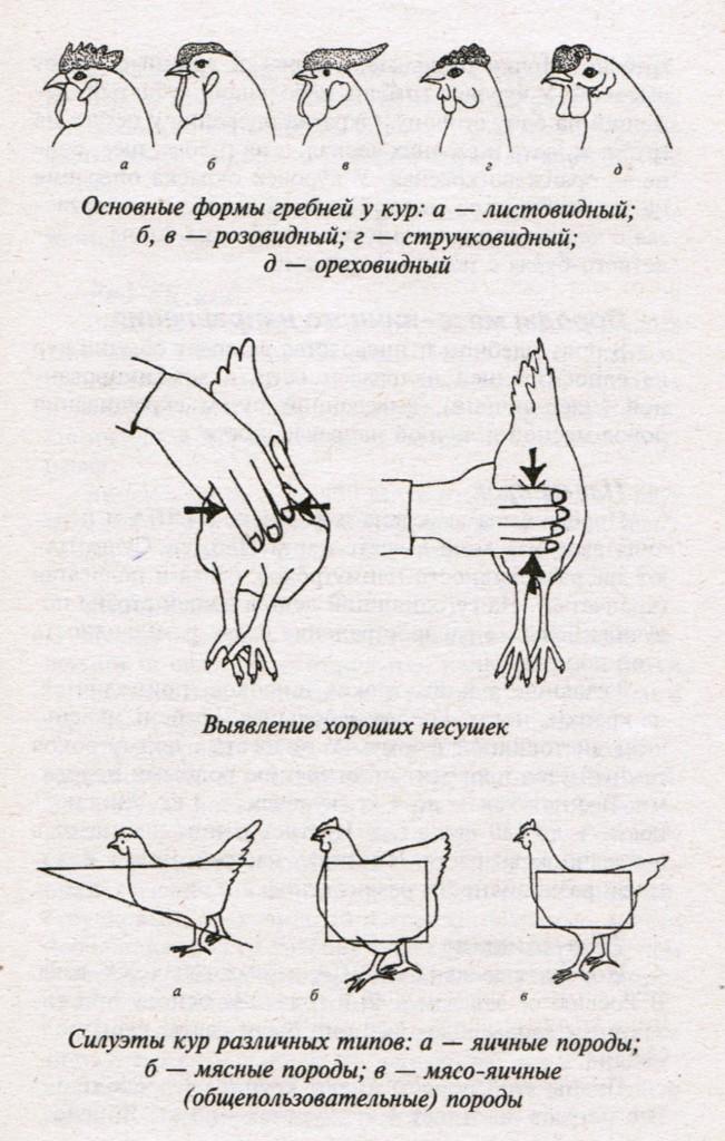 Как отличить цыплят курочек от петушков: как определить пол в суточном возрасте, в 1-2 и в 3-4 месяца?