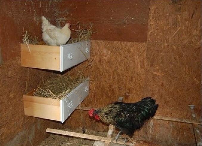 Цыплятам в 6-8 недель пора переезжать в курятник на улицу
