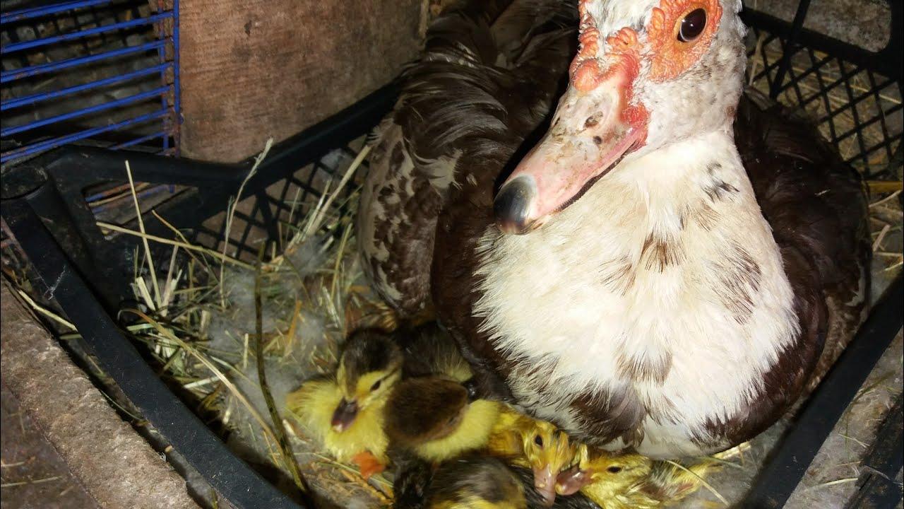 Причины, почему индоутки не несут яйца