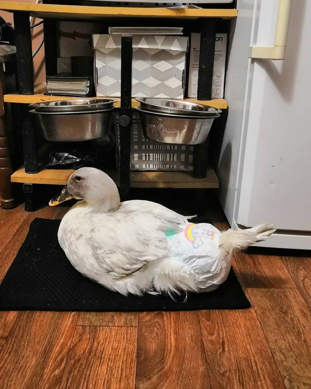 Содержание утки в квартире – в каком случае это можно делать?