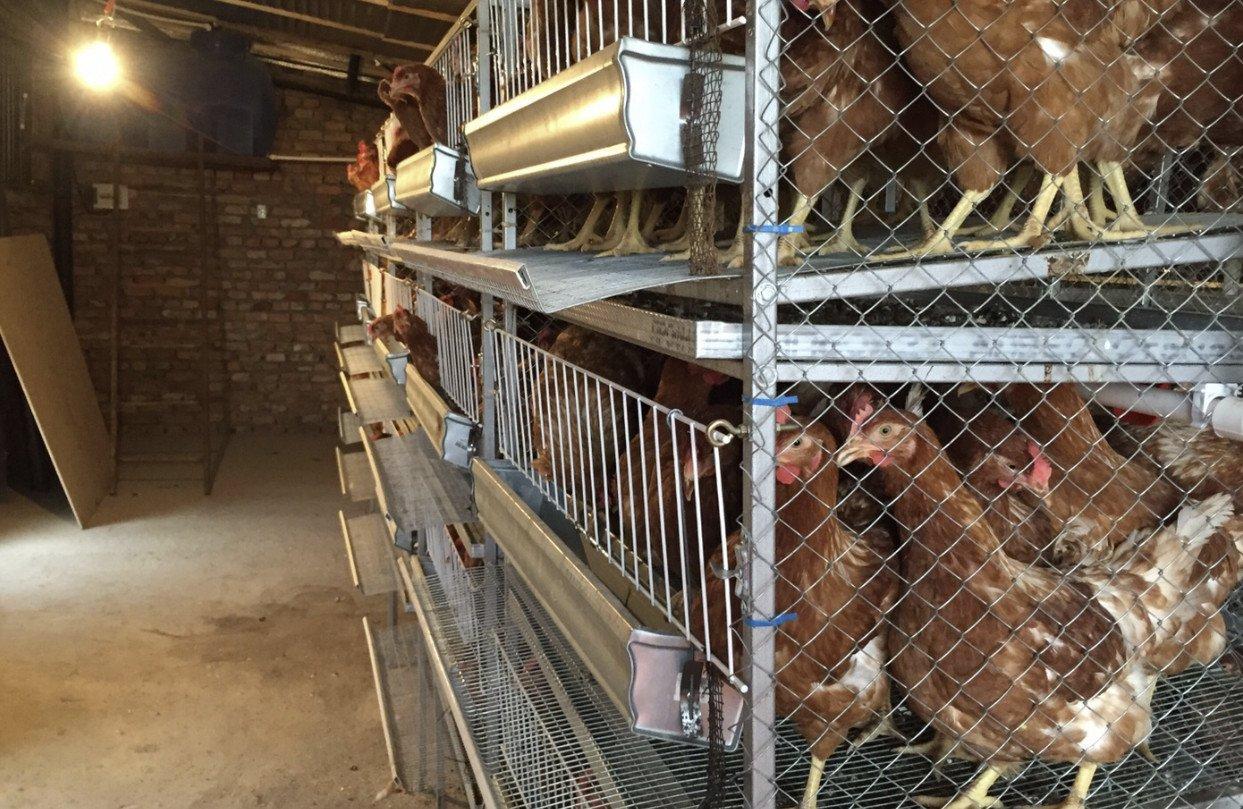 Выращивание кур несушек как бизнес в домашних условиях