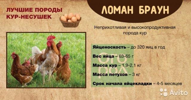 Сколько яиц несет курица несушка в день, в неделю, в месяц и год