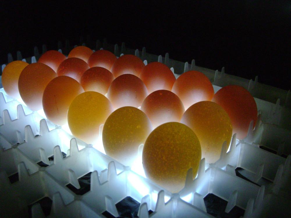 Инкубация крупных куриных яиц