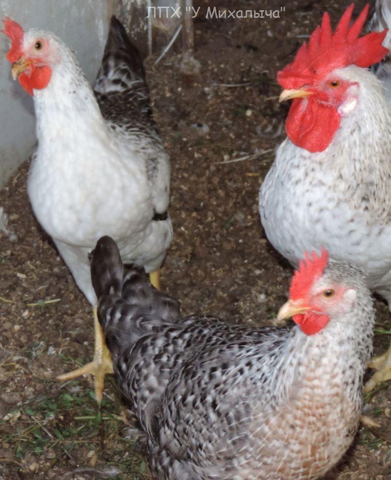 Борковская барвистая - яичная порода кур. Описание, характеристики, содержание и разведение, правила кормления