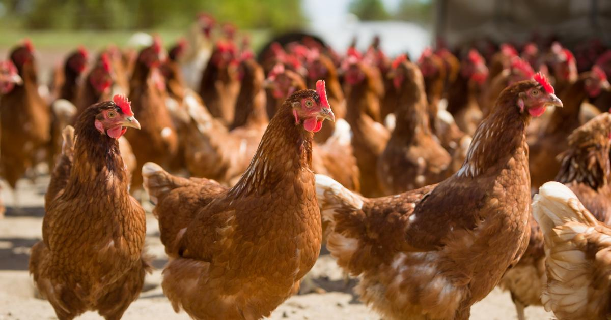 Куры Браун Ник - яичный кросс. Описание, характеристика, яйценоскость, правила содержания и кормления