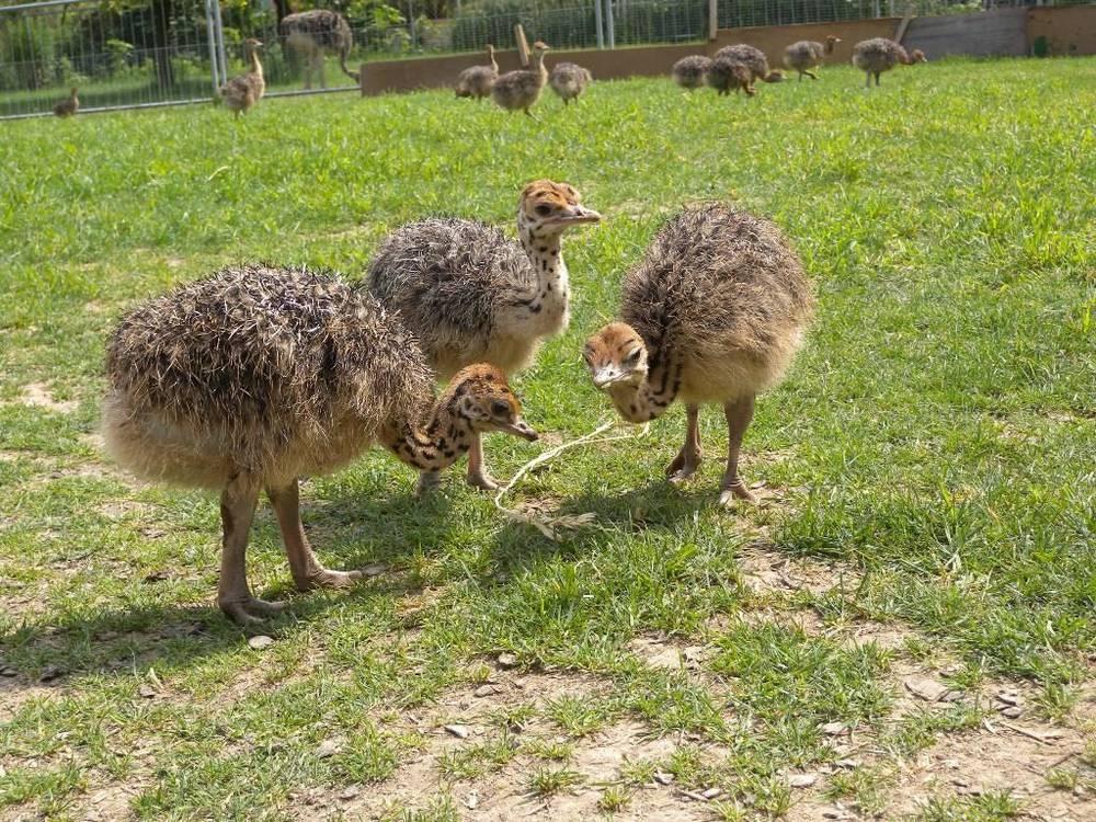Сомалийский страус – особенности содержания в российских фермерских хозяйствах