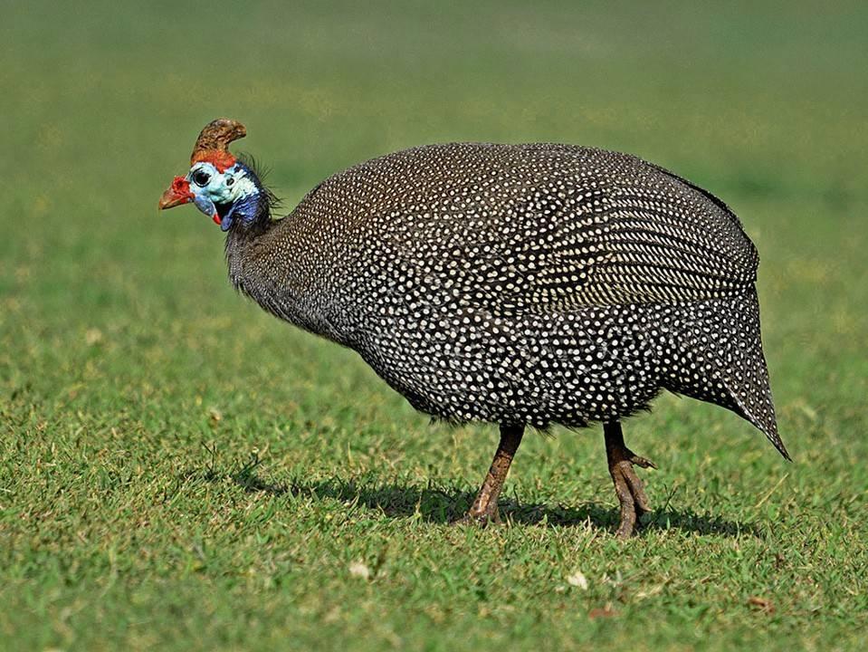 Цесарка – что это за птица, как выглядит. Фото и описание
