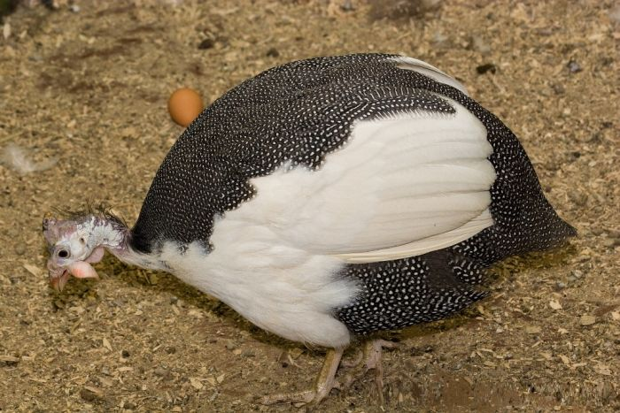 Загорская белогрудая цесарка – внешние характеристики, продуктивность, содержание