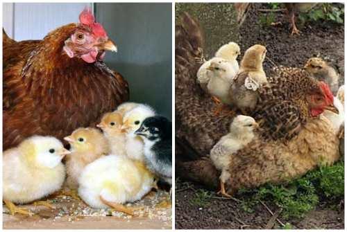Курица-наседка: лучшие породы квочек, высиживание яиц, содержание, кормление и уход