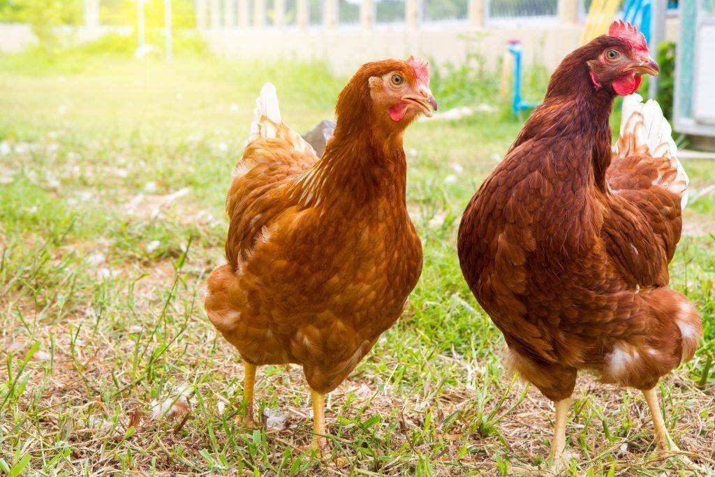 Род-Айленд - мясо-яичная порода кур. Характеристики, правила кормления и выращивания, особенности инкубации