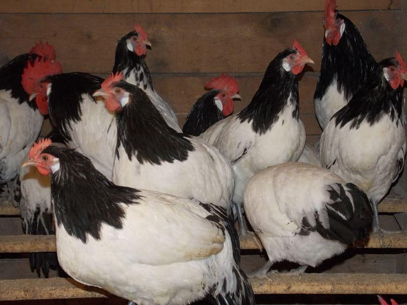 Мясо-яичная экзотика с курами Лакенфельдер