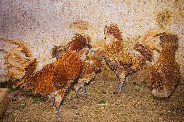 Падуан порода кур – описание, фото и видео