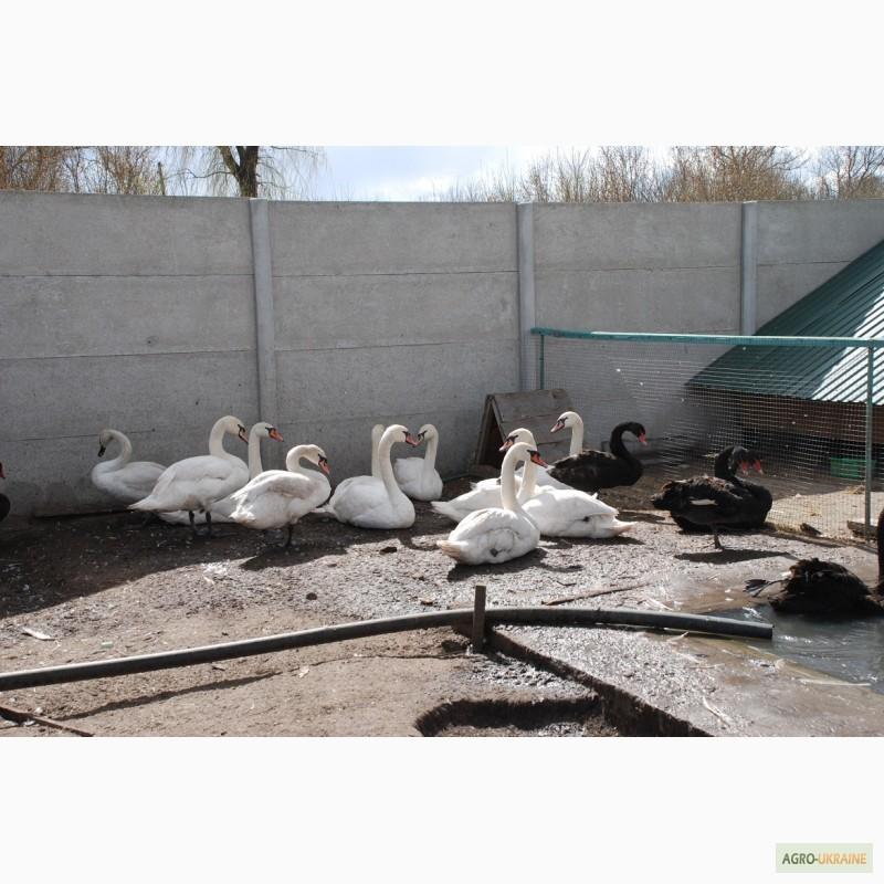 Секреты выращивания черных лебедей в неволе
