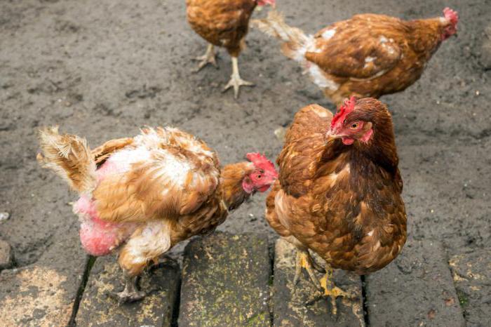 Петухи страдают от нападок кур