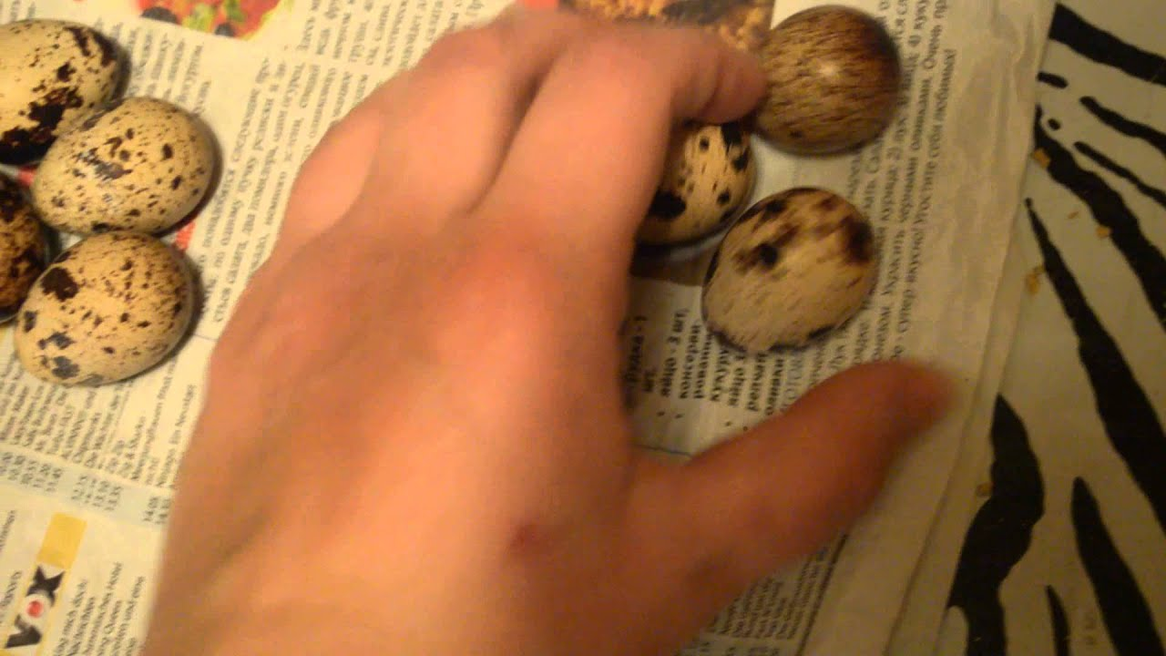 Причины, почему перепелки перестали нести яйца, что делать в такой ситуации
