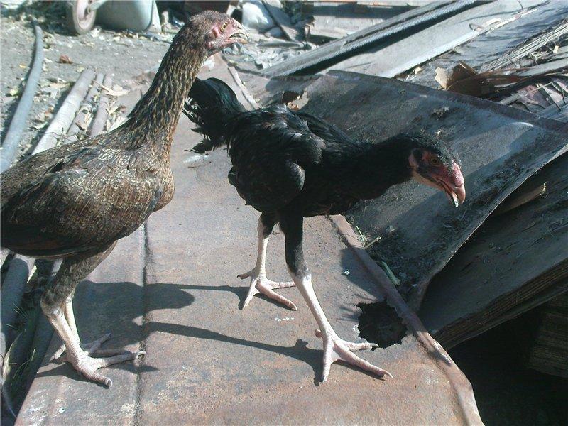 Суматра - бойцовая порода кур. Описание, содержание и разведение, кормление, инкубация