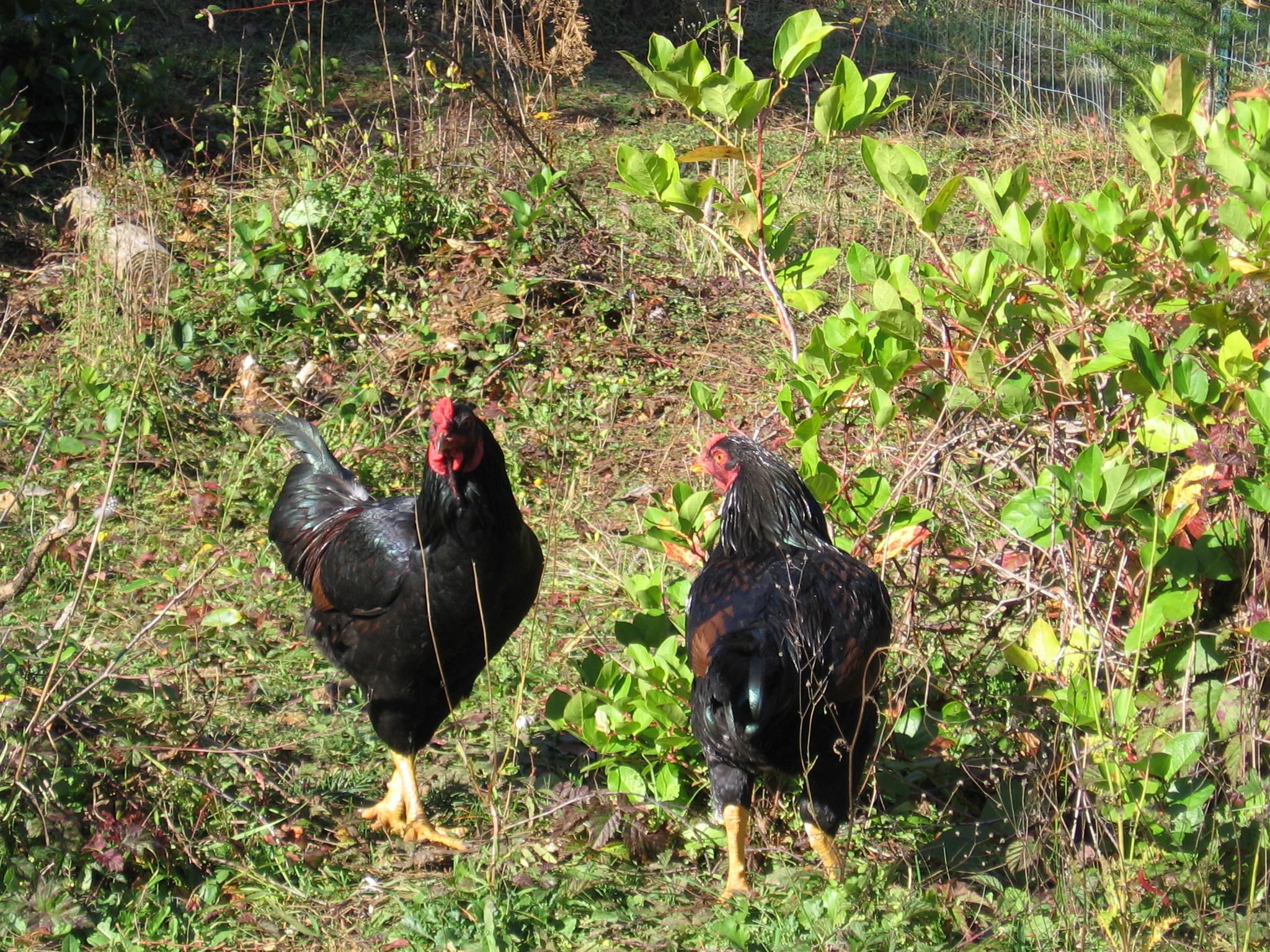 Корниш - мясная порода кур. Описание, характеристики, разведение, кормление и инкубация